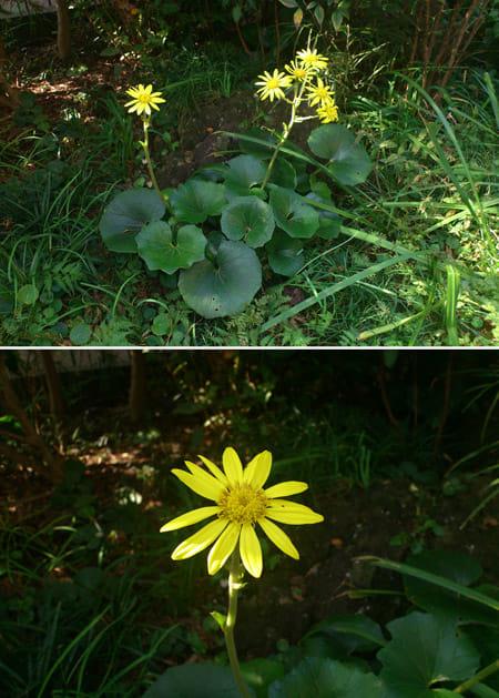 DoubleShot:AF アイコンをタップするだけで接写が可能。普通に撮影(上)被写体の花に近づいて撮影(下)
