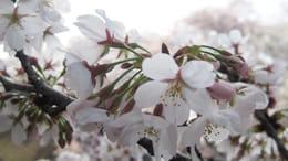 満開の桜のお供にアプリを活用しましょう!