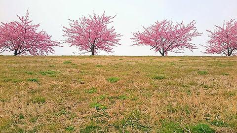 桜の木を真横から撮影