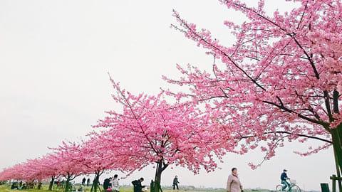 桜の花が途切れないように調整して撮影