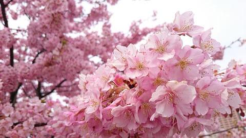 寄って撮ると背景がボケて桜の雰囲気がよく分かる。でも大きく写るため花の傷みも見えてしまう