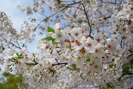 春だ!桜だ!お花見だ!春の風物詩「桜」をスマホで綺麗に撮影するコツ