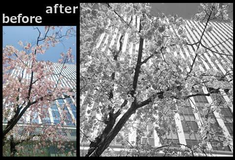 モノクロ写真集~桜~