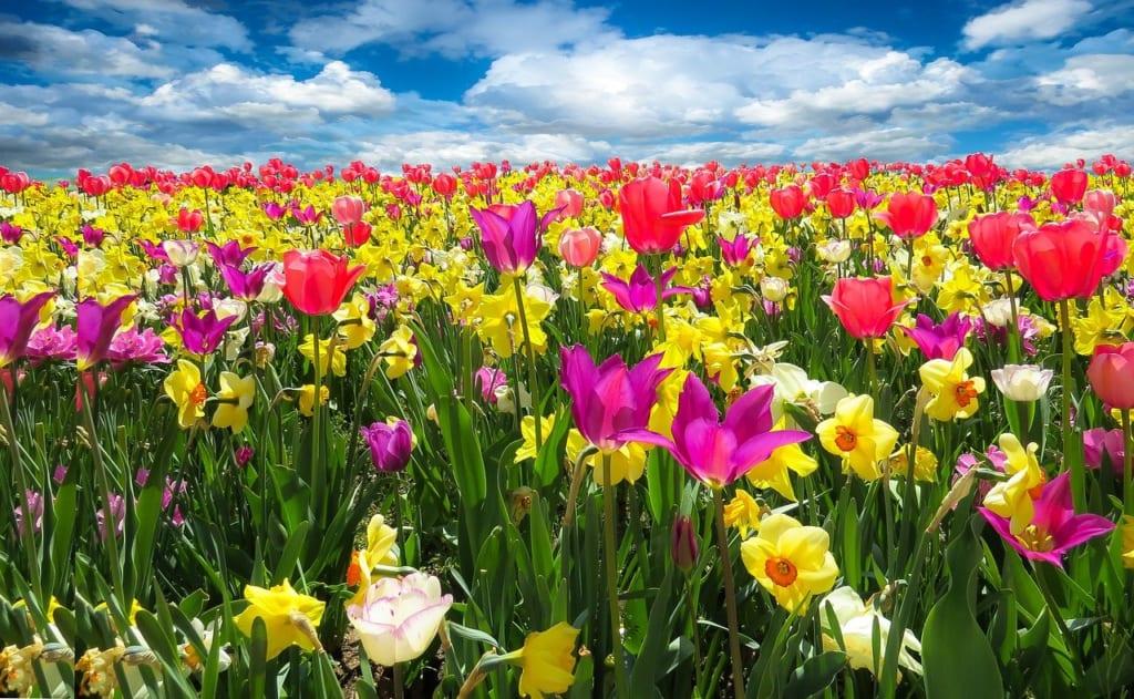 pixabay:blende12_tulips